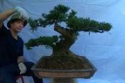 ✅Giới thiệu lô cây cảnh bonsai đẹp mịn giá hợp lí✔️BShp(35-Mr.Đại 0967828345)