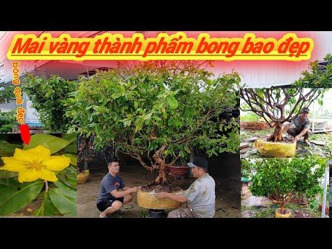 Giao Lưu 4 cây Mai Vàng tàng thành phẩm đế nôm bông bao đẹp miền nam BG ngày 14/6/2020 A Chiến