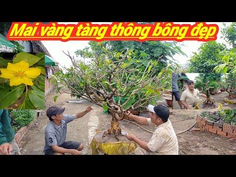 Giao Lưu 5 cây Mai Vàng một cốt dót đọt đế nôm bao bông đẹp miền nam BG ngày 13/6/2020 A chiến