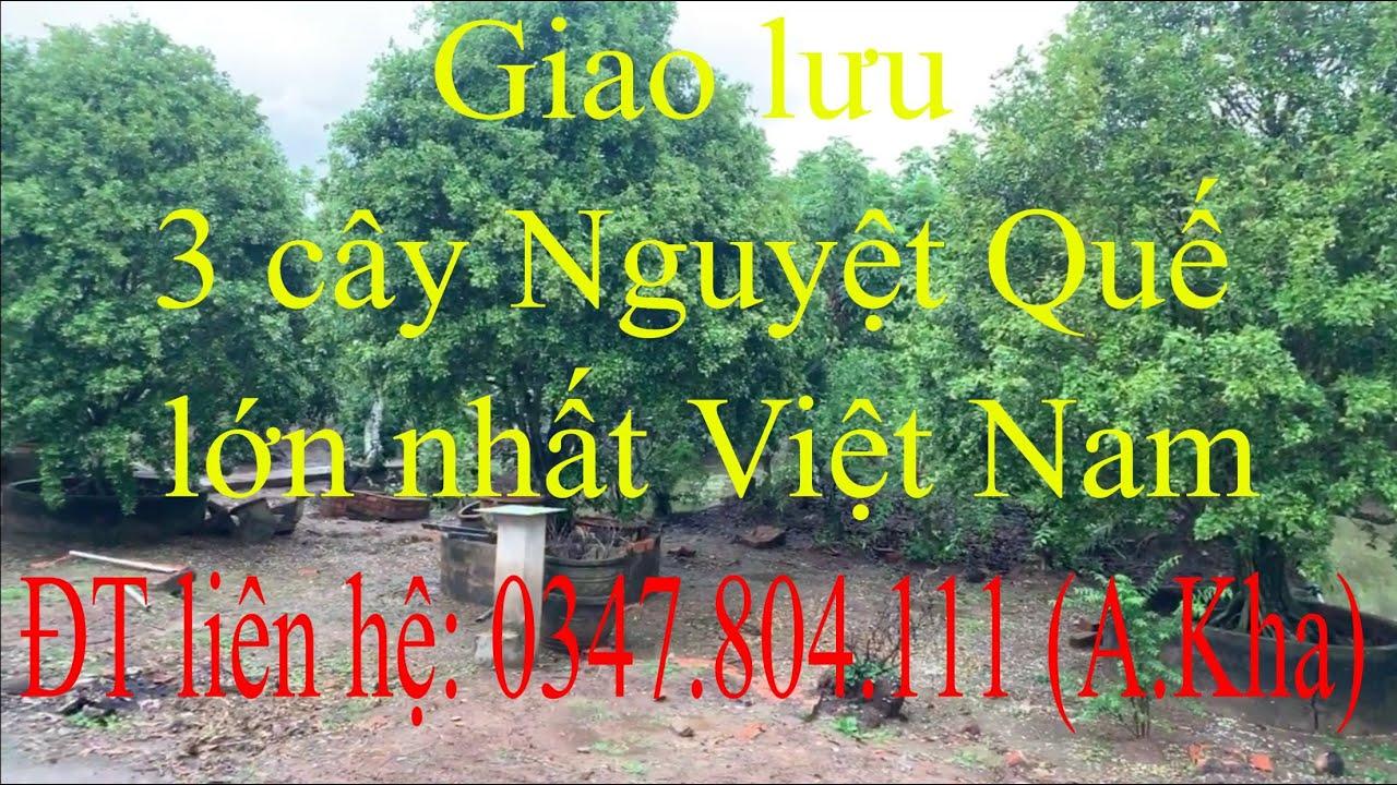 Giao lưu 3 cây nguyệt quế lớn nhất Việt Nam, ngày 06/06/2020. ĐT liên hệ: 0347.804.111 (A.Kha)