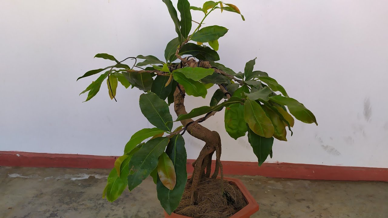 Giao lưu cây mai bonsai chân dài mini để bàn. Zalo 0357449654.