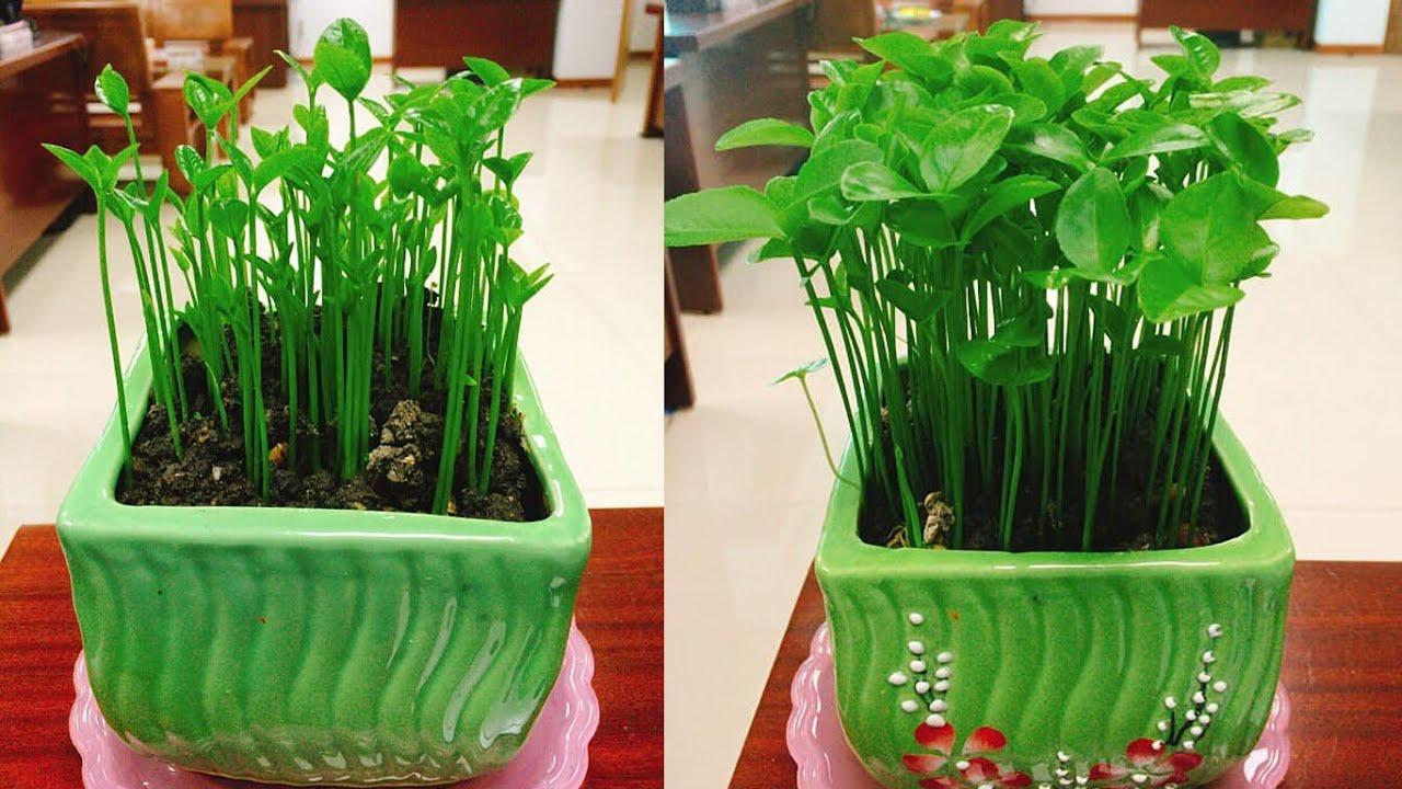 Hướng dẫn cách trồng cây cảnh để bàn bằng hạt bưởi | Tự làm chậu cảnh để bàn từ hạt bưởi