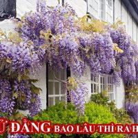 Hướng dẫn cách trồng hoa tử đằng đẹp lung linh   Trồng hoa tử đằng ở Việt Nam