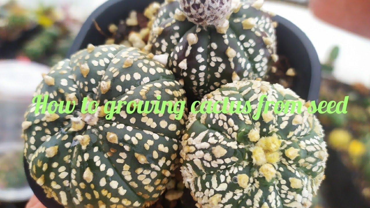 Hướng dẫn tách và gieo hạt xương rồng Asterias Nudum - How to growing cactus from seed