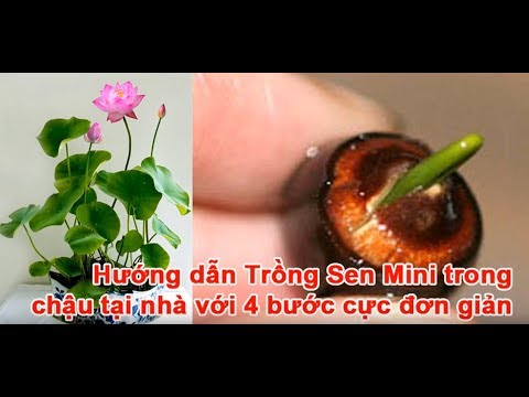 Hướng dẫn trồng sen nhật mini từ hạt