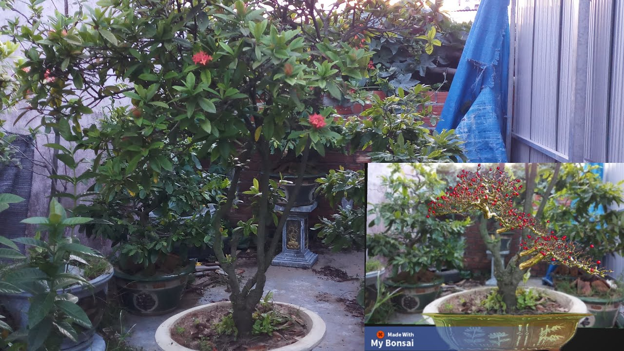 Hải Vũ giềng bonsai Phá thế Cây Mẫu đơn Tàn Dù Đẹp