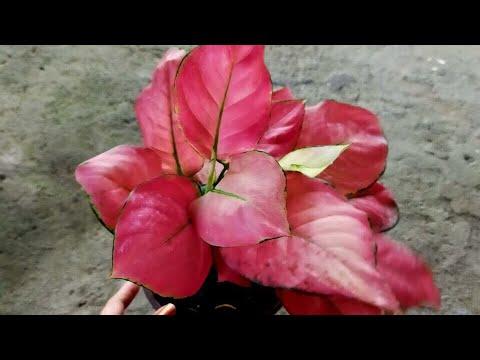 ?? Hồng lộc cây lớn (160k) - Cây phong thủy