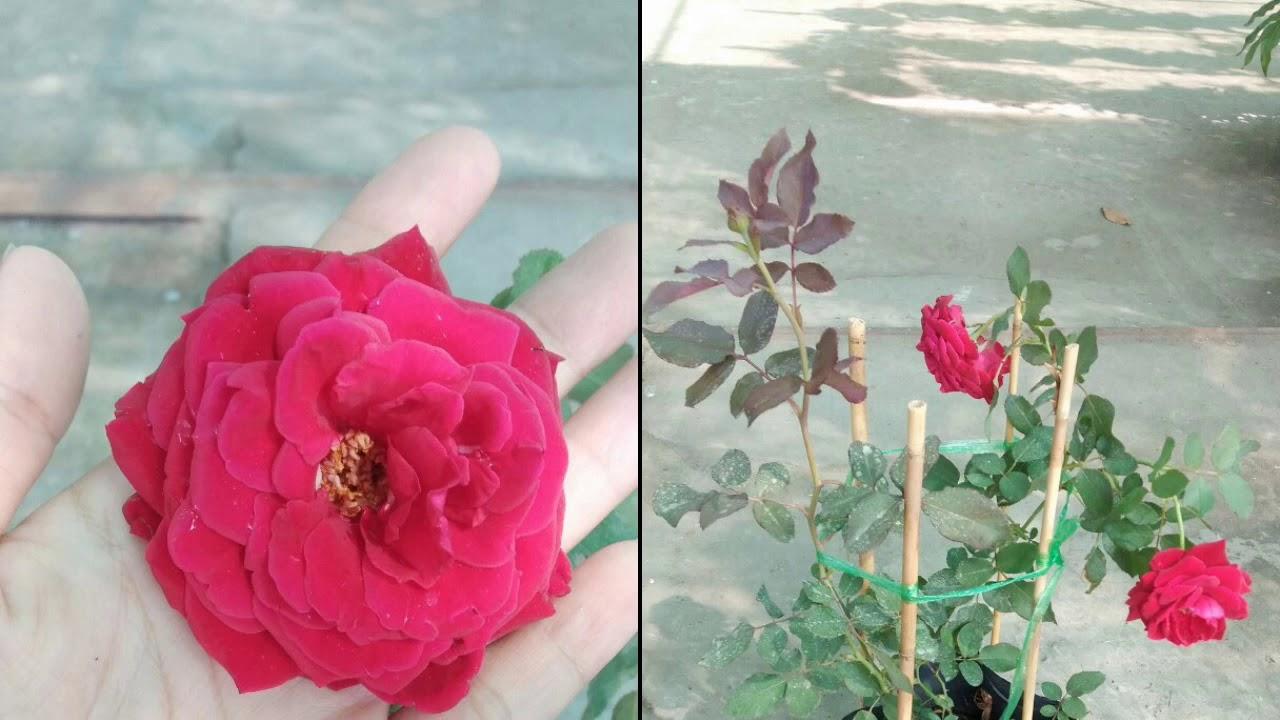 ??Hồng leo valentine chậu nhỏ hoa đỏ rực (90k) - Cây phong thủy