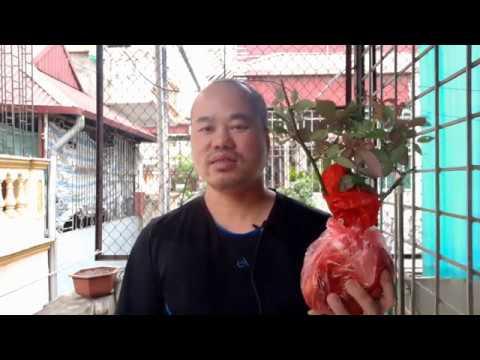 Hoa Hồng Bạch, Cây cảnh - Cây thuốc quý