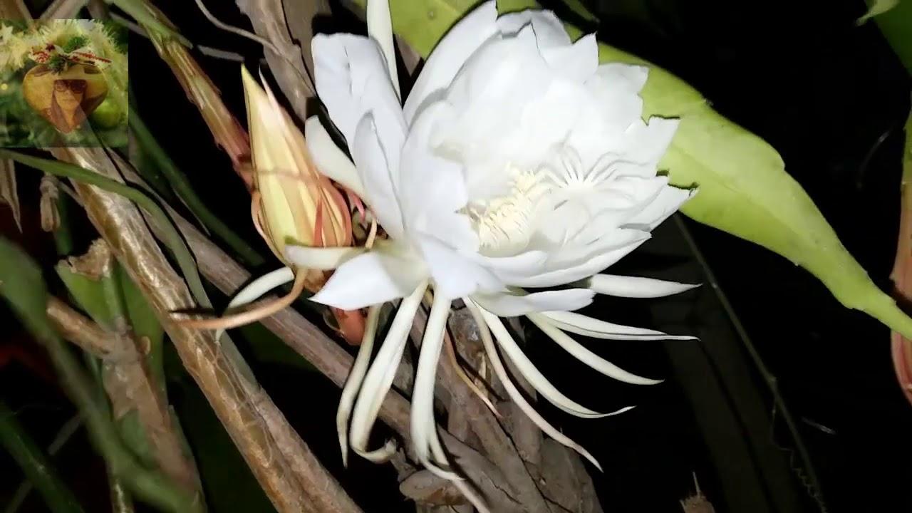 Hoa Quỳnh cây cảnh đẹp - vị thuốc quý cho sức khỏe