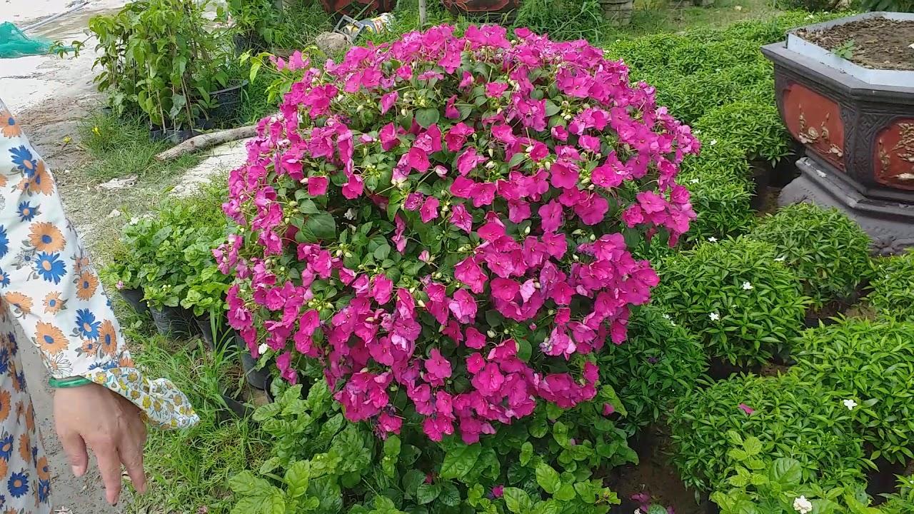Hoa bông giấy ,hoa hồng ở trại hoa cây cảnh đường Hoàng thị loan liên chiểu Đà nẵng.