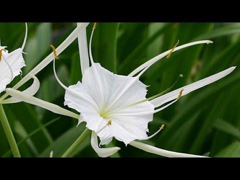 Hoa bạch Trinh ( Náng )Tên khoa học: Hymenocallis speciosa Salisb.