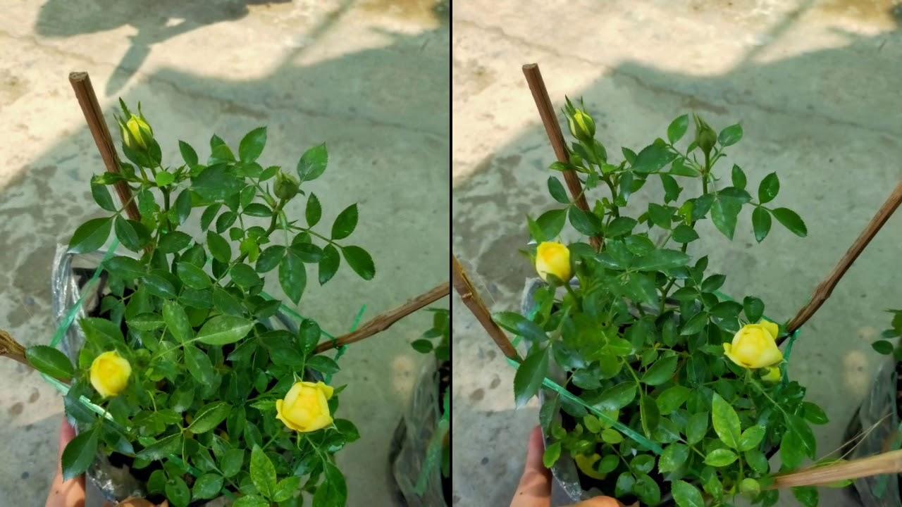 ??Hoa hồng tỷ muội vàng (50k) - Cây phong thủy
