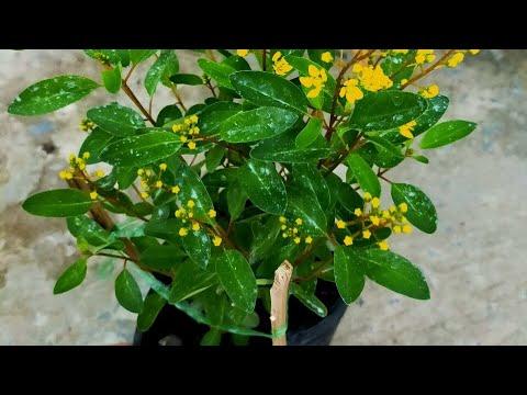 ??Hoa kim đồng, hoa quanh năm nhe khách (50k) - Cây phong thủy