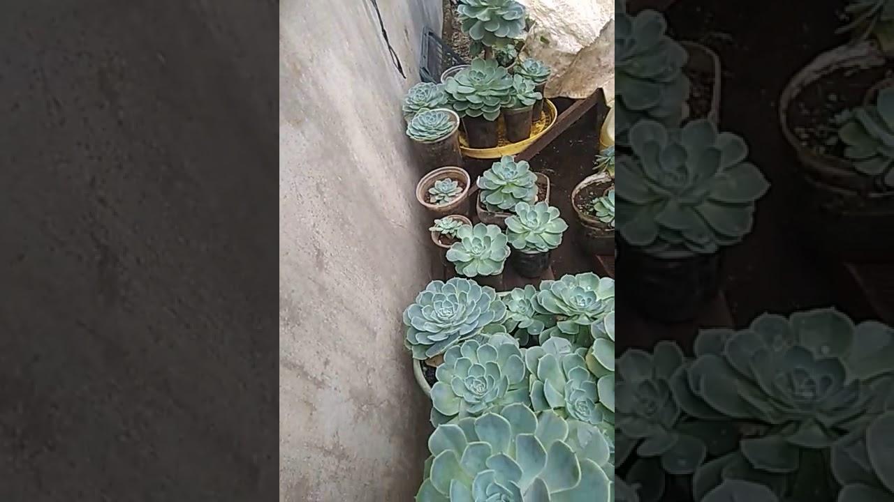 Hoa sen đá siêu đẹp