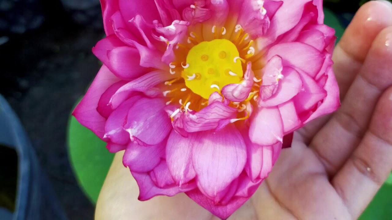 ?? Hoa sen nhật ( sen cung đình) cây đẹp đang hoa (80k) - Cây phong thủy