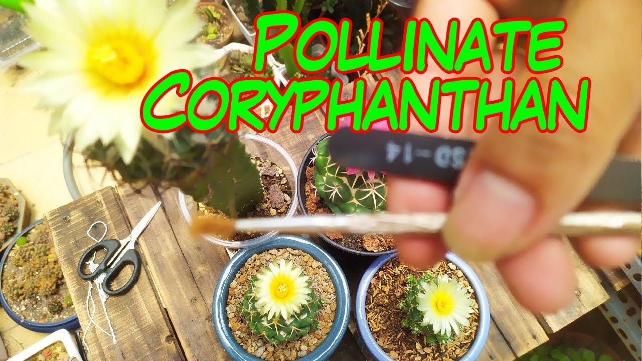 How to pollinate Coryphanthan cactus - Hướng dẫn thụ phấn hoa xương rồng Coryphanthan