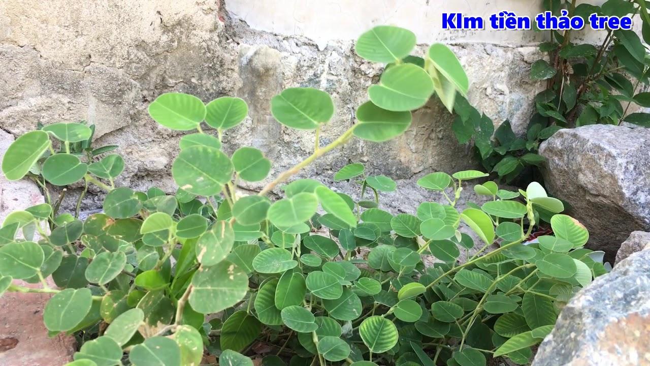 Kim tiền thảo tree | Loài thuốc quý