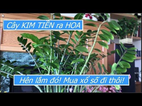 Lần đầu tiên trong đời thấy cây KIM TIỀN ra HOA; người ta nói là cực kỳ HÊN, phải đi mua xổ số thôi!