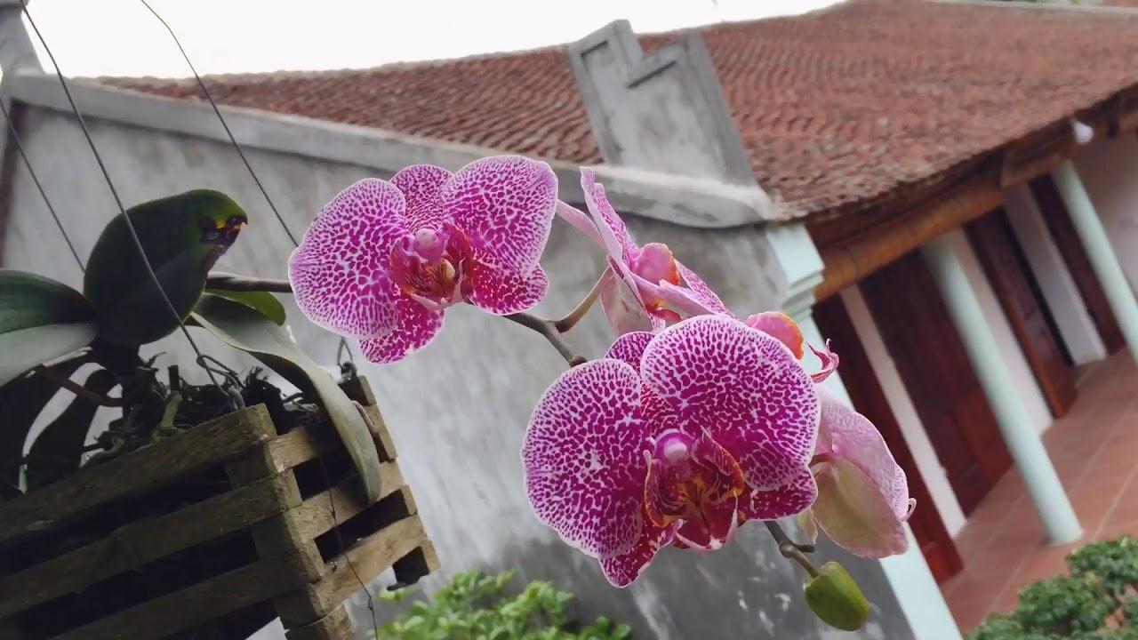 Lan Rừng 7 - Series Hoa Lan Ông Hùng Cây Cảnh 2020