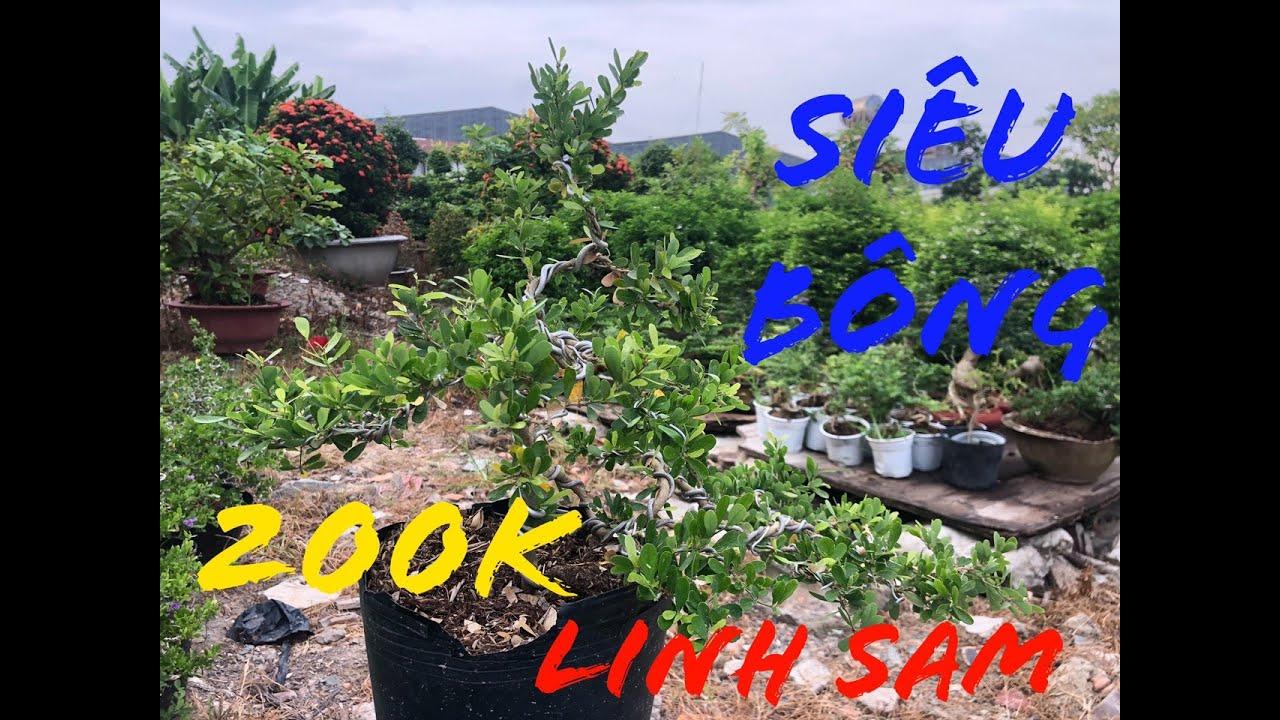 Linh Sam Siêu Bông | Linh Sam Bonsai - 200K | Cây Về Ngày 08/06/2020 | Cây Cảnh TV
