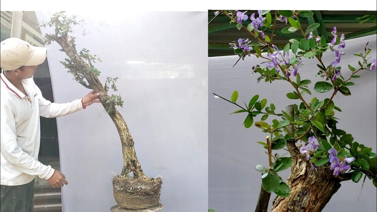 Linh sam tông cao nghệ thuật  (X) 0795050333#bonsai