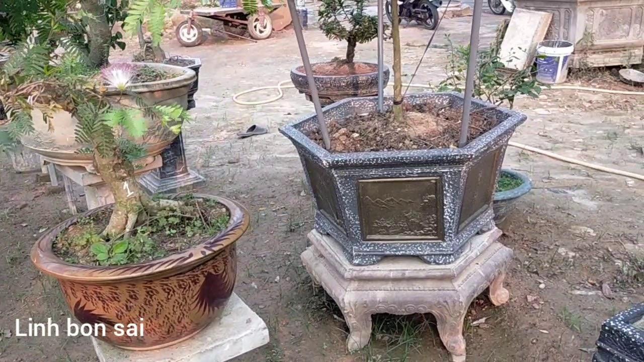 Một số tác phẩm bon sai mi ni vườn cảnh long nguyễn Lào Cai |Linh bon sai