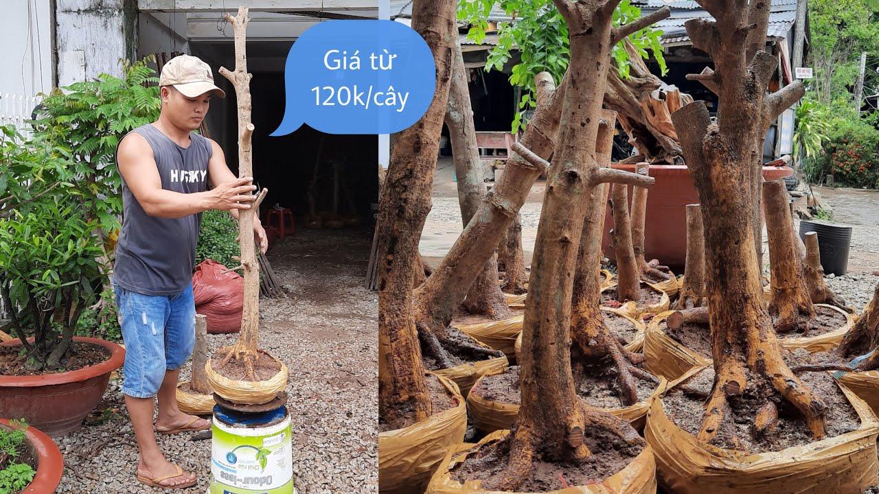 Mai phôi giá cực rẻ chỉ từ 120k/cây GLTQ ngày 08/6 | Quốc Cung