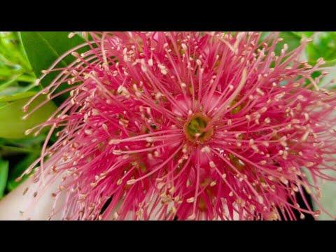? ? Mai thái hoa màu hồng (90k) - Cây phong thủy