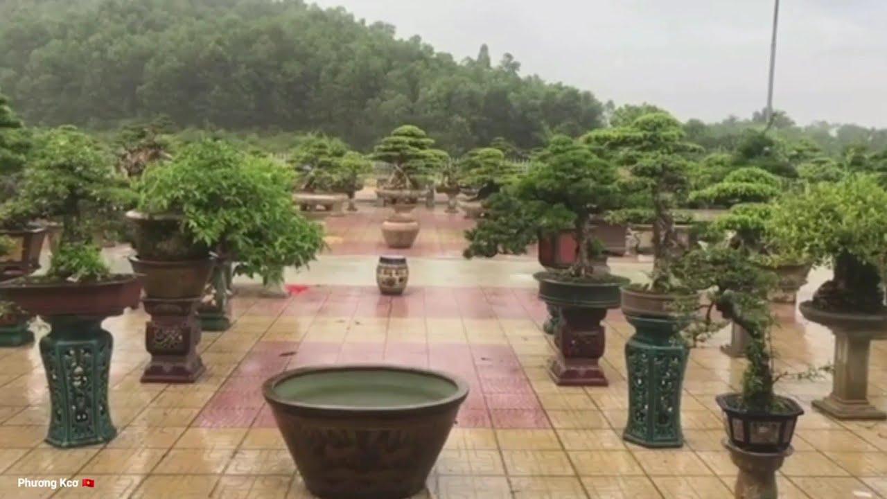 Ngắm vườn cây cảnh mới của chú Cường Họa sĩ dưới trời mưa