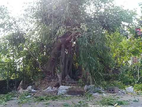 Nghệ nhân tạo dáng cây xanh và cây khế đại cổ thụ nam định