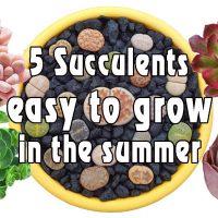 P270: 5 Loại Sen Đá Dễ Trồng Vào Mùa Hè / 5 Succulents easy to growin the summer