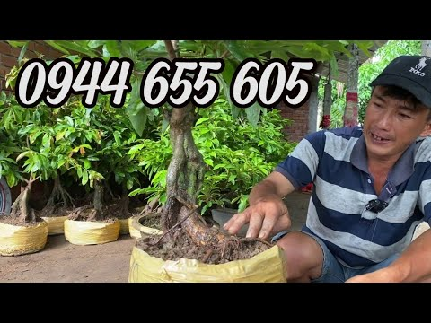 PHÔI MAI VÀNG CẦN THƠ ngày 09/6/2020 ? 0944 655 605 @TRÍ ? bonsai can tho
