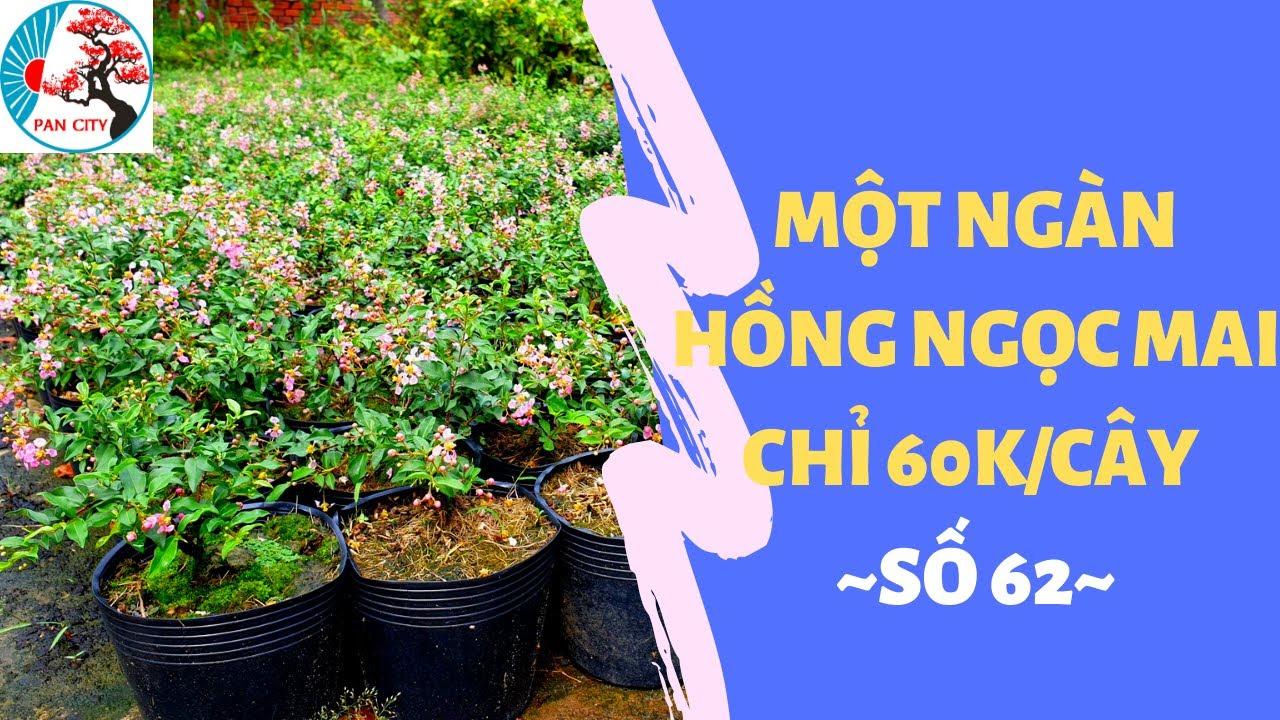 Pan City   Bonsai mini 62   Một ngàn cây hồng ngọc mai mới nhập chỉ 60k/cây - ĐT/Zalo: 0349678335