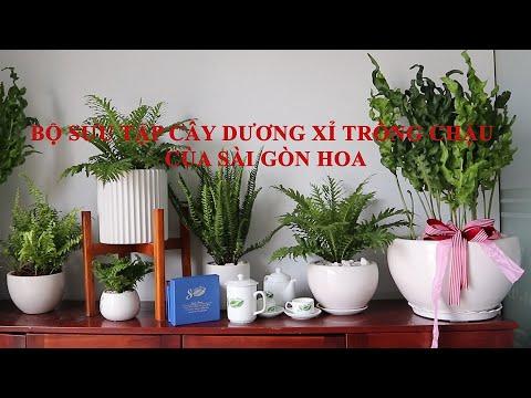 (Part 1) Cây dương xỉ  -  Giới thiệu bộ sưu tập dương xỉ trồng chậu của Sài Gòn Hoa