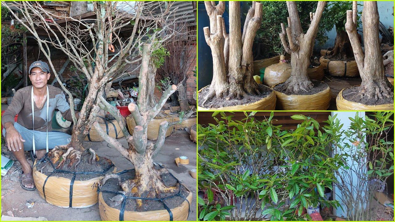 Phát Tài, Bông Trang, Mai Vàng GL ngày 03/6 | Kiệt Bình Thủy CT