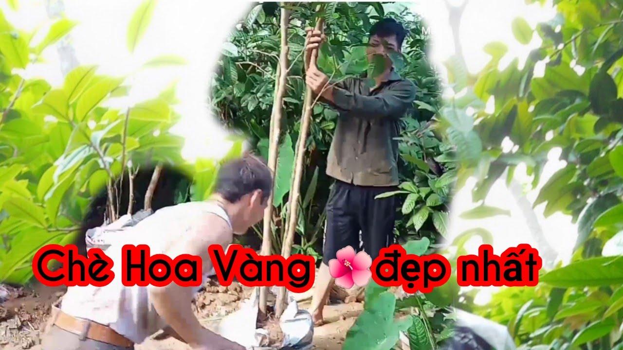 Quang Vinh- Giới Thiệu Vườn Trè Hoa Vàng Vườn Cây cảnh Đẹp Nhất Tại Quảng Ninh Ba chẽ khe hố