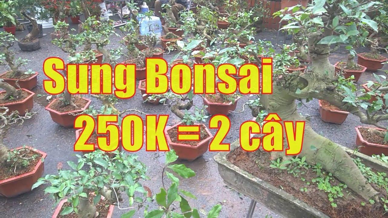 Sốc: Bonsai sung cảnh 250= 2 cây   triển lãm bonsai cây cảnh ở thị trấn Lim