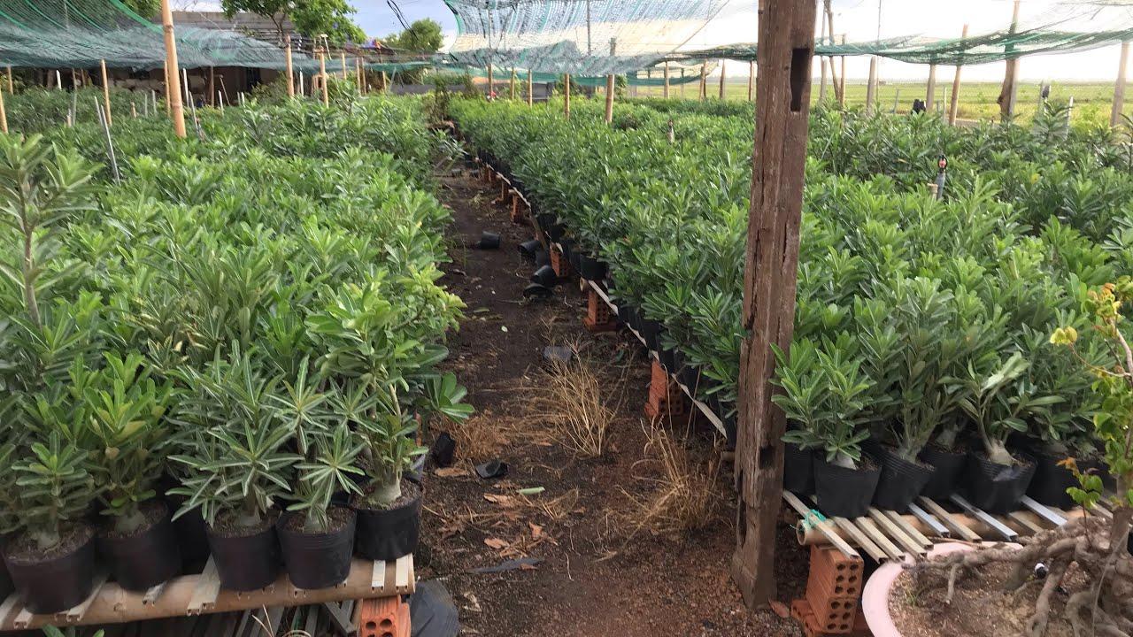 Sứ thái gieo hạt nguyên thuỷ chỉ 25-30k cây (10/6) 0918569781/0799077717-