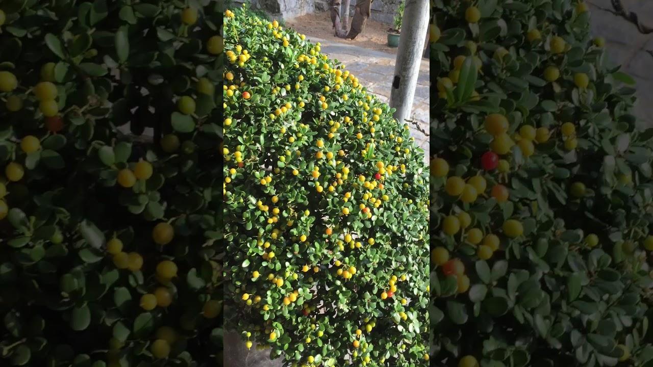 Tác phẩm bonsai hải châu