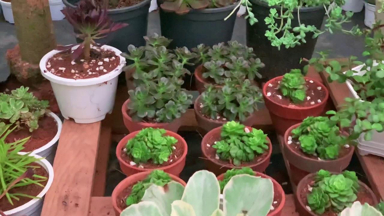 (Tập 17) Vườn Sen Đá Vào Mùa Mưa Sẽ Thế Nào  Succulent Gardent