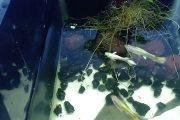 Tự làm cây thủy sinh cho hồ cá