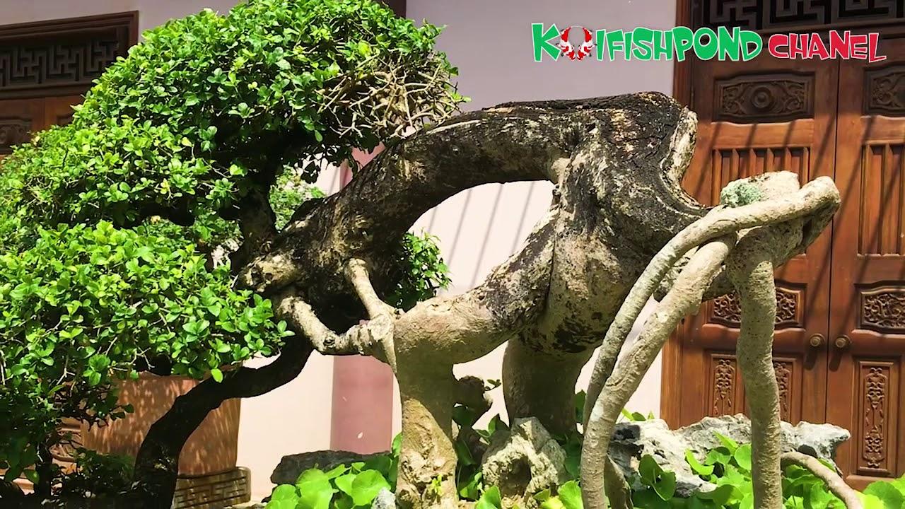 [Thư giãn] Ngắm dàn bonsai độc - đẹp ở chùa Thiên Hưng - Bình Định   Beautiful bonsai garden