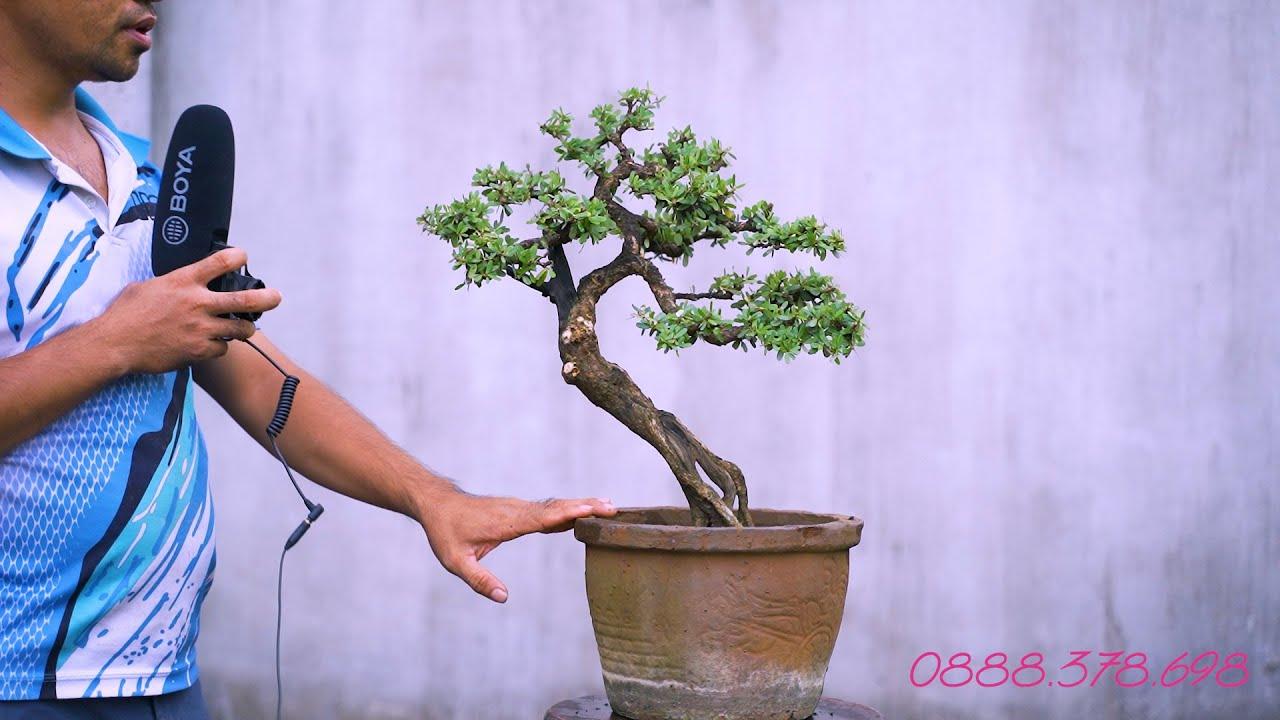 Thọ Bonsai - Số 115 ĐÃ BÁN - Linh Sam đa ưu điểm lũa thép