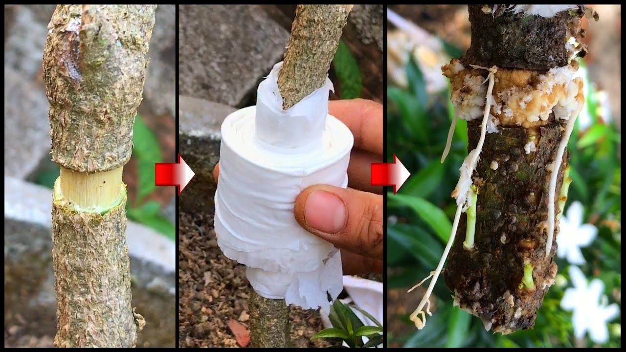 Thử chiết cây bằng giấy vệ sinh và kết quả đã ra rễ