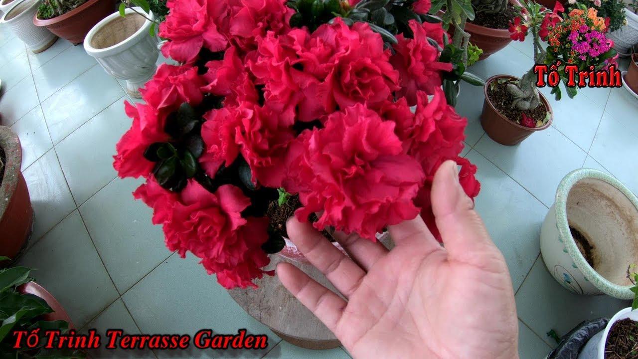 Thay Đất Sang Chậu Cây Hoa Đỗ Quyên / Rhododendron
