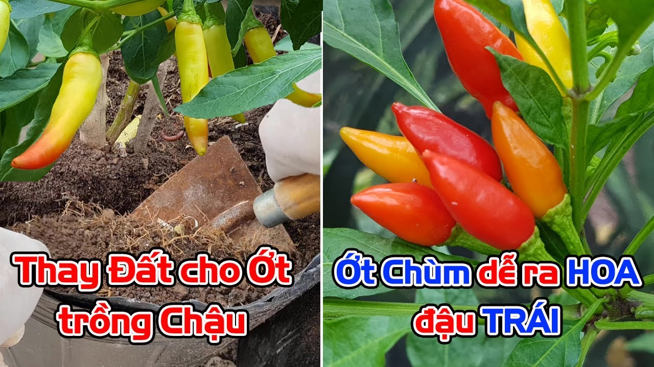Thay đất cho cây ớt trồng chậu, giống ớt chùm dễ ra hoa và đậu trái.