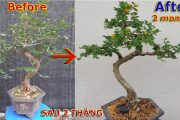 Thay đổi bất ngờ thành cây bonsai mini đẹp chỉ sau 2 tháng | QH 81