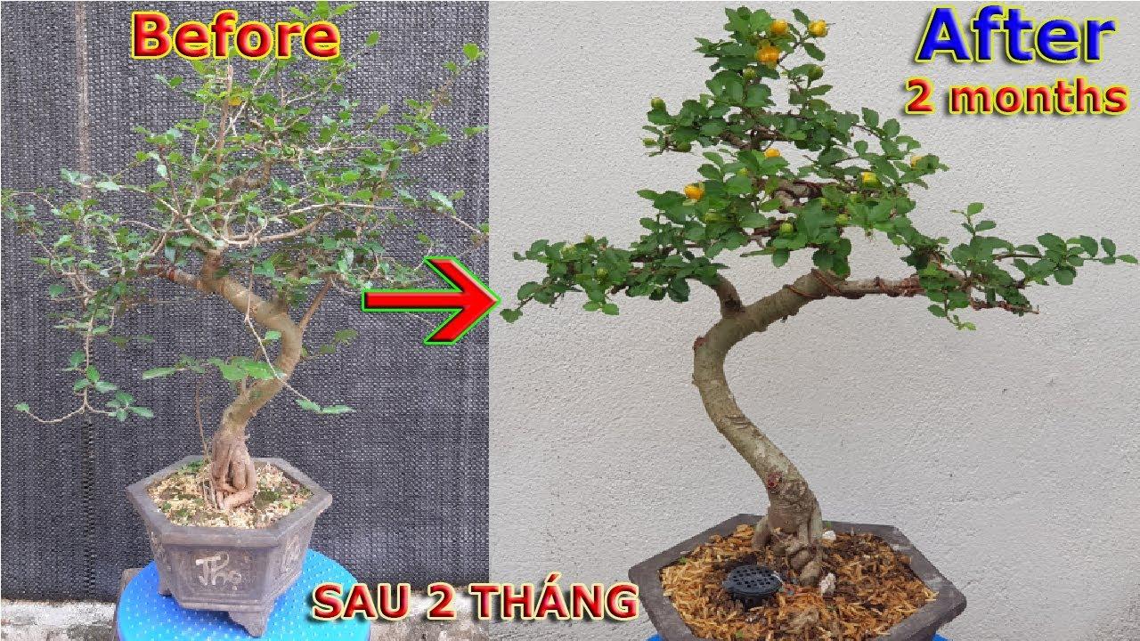 Thay đổi bất ngờ thành cây bonsai mini đẹp chỉ sau 2 tháng   QH 81
