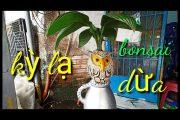 Thay chậu cây dừa Bonsai hình con chim cú